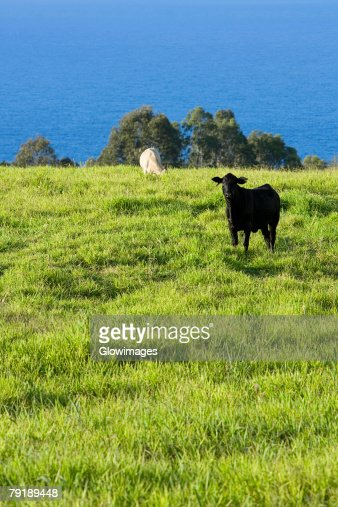 Two cows grazing in a field, Pololu Valley, Big Island, Hawaii Islands, USA : Foto de stock