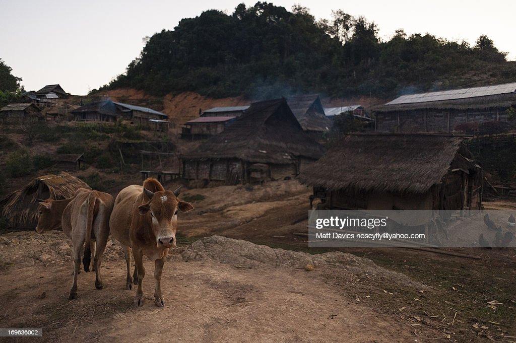 Two Cows in An Akha Nuqui Village