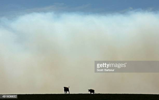Two cows stand in a field as smoke from a bushfire billows past Benloch Victoria on October 7 2015 near Melbourne Australia Victorian fire crews have...