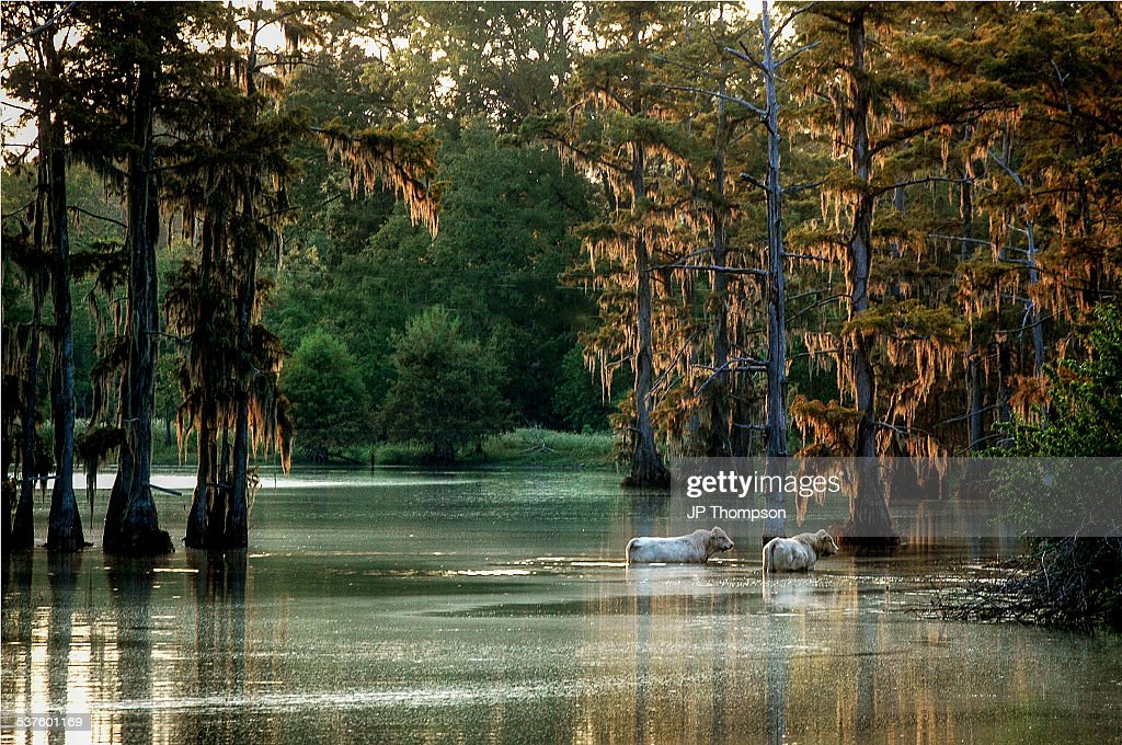 Two cows wading in a bayou in Louisiana