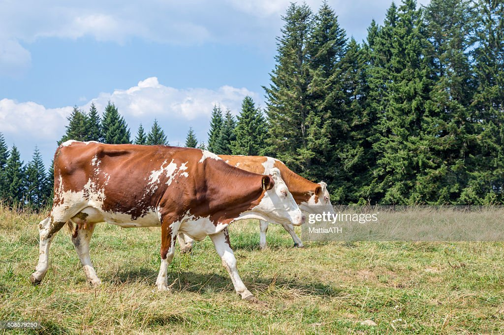 Two cows walking on an alpine pasture surrounded by pines : Stockfoto