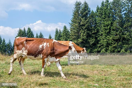 Two cows walking on an alpine pasture surrounded by pines : Stock Photo