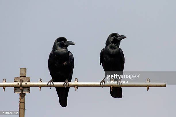 Two crows sitting