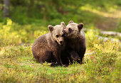 Two cute Eurasian brown bear cubs play-fighting on a sunny summer afternoon in the Finnish forests.