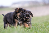 Two purebred young German Shepherd dog puppies playing outdoors on a grass field on a sunny spring day.