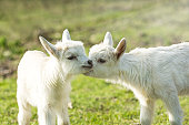 Two cute six days old kid on the green grass. One another tenderly kisses. Selective focus image