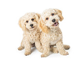 Two cute white color Havanese and Poodle mixed breed dogs sitting together and looking into camera