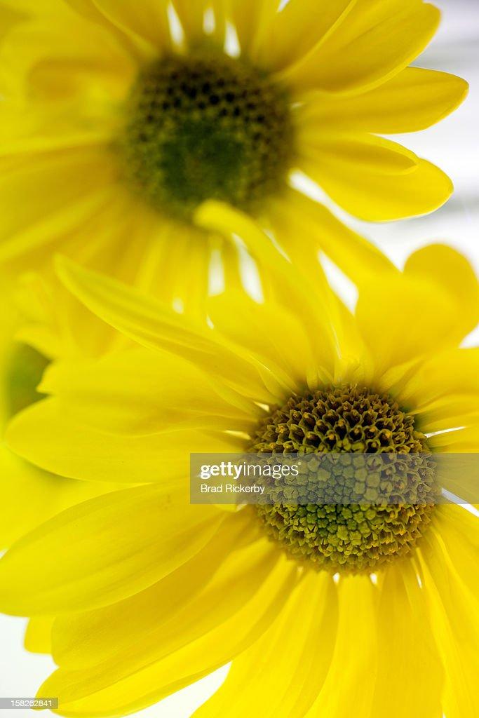 Two daisies : Stock Photo
