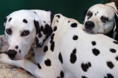 Two dalmatian dogs wait in their stall on the final day of the annual Crufts dog show at the National Exhibition Centre on March 13 2011 in...