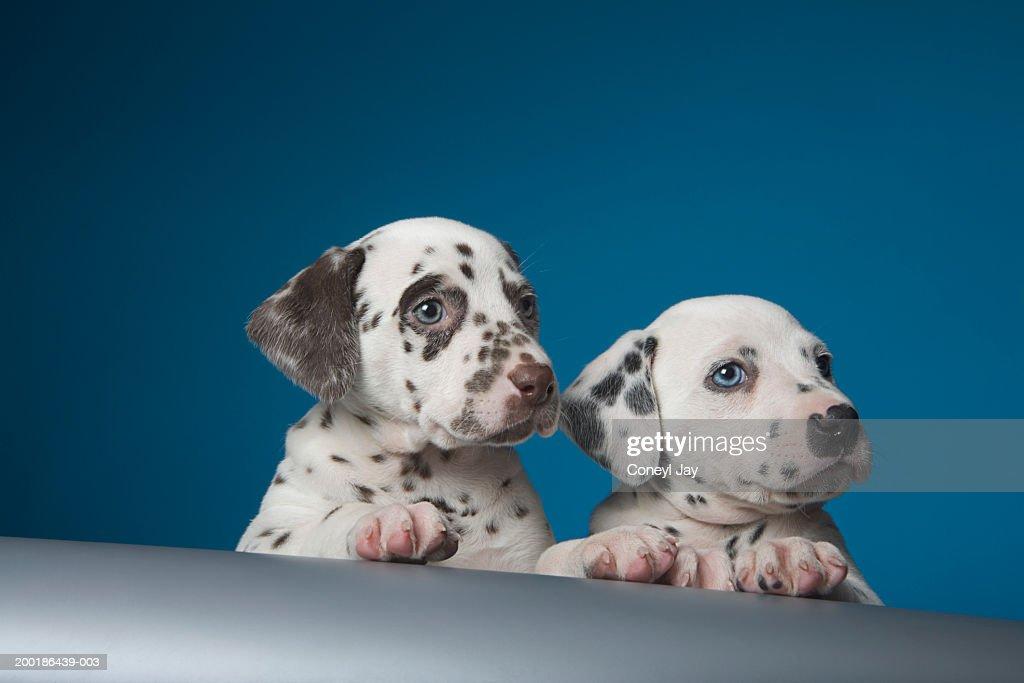 Two dalmatian puppies peering over ledge : Stock Photo