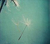 Two dandelion seeds falling