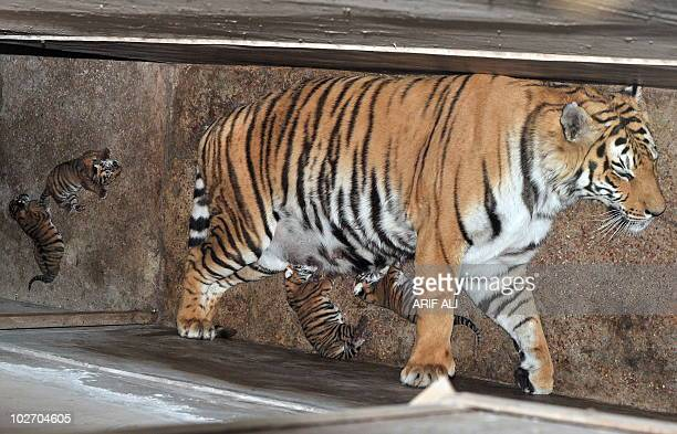 Two dayold Bengal tiger cubs drink milk and lie next to their mother at a pen in Safari Park in Lahore on May 2 2009 The four cubs born in captivity...