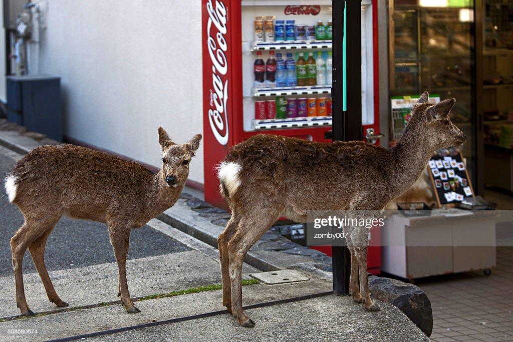 2 つので、日本の奈良鹿 : ストックフォト