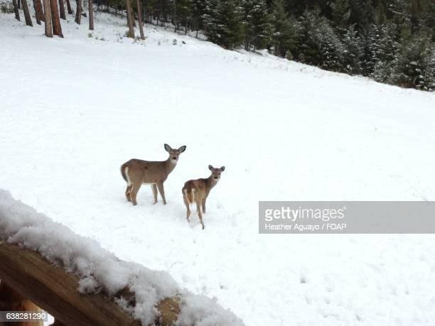 Two deers in snow
