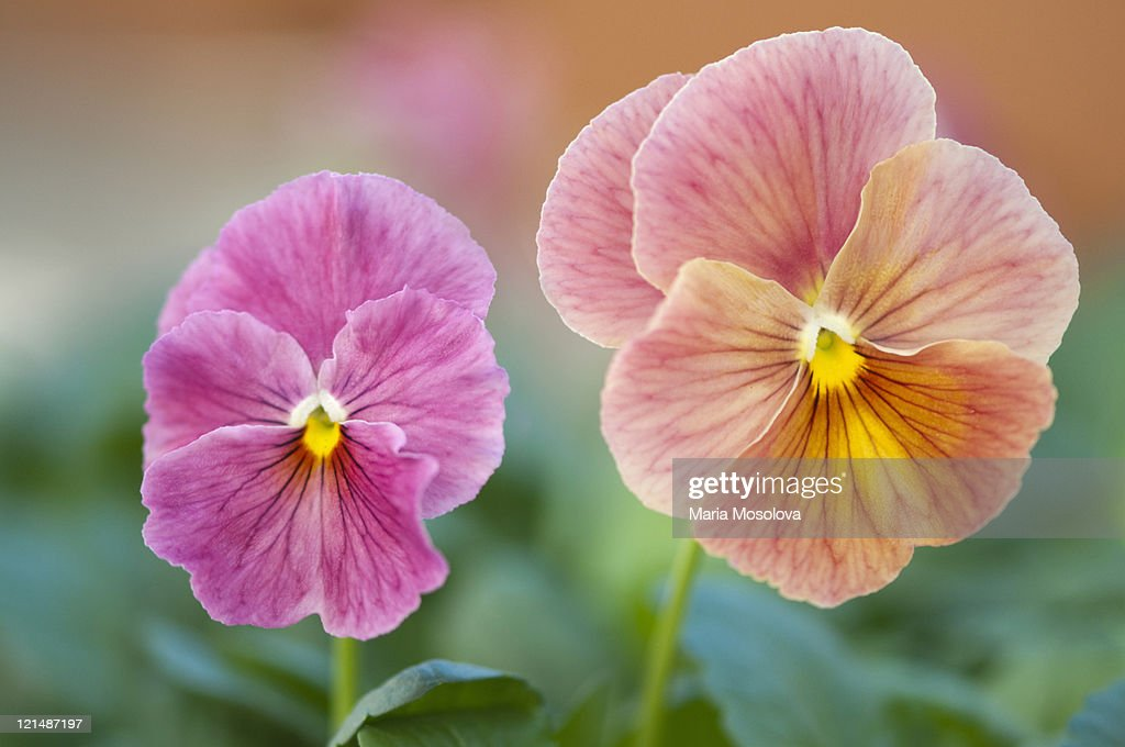 Two Different Pansy Flowers Facing Opposite Direct : Stock Photo