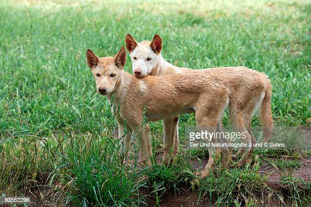 Two Dingo sisters in a field