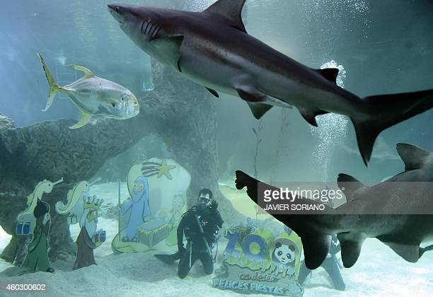 Two divers give the 'OK' gesture after placing christmas icons inside an aquarium as sharks pass at Madrid's Zoo on December 11 2014 AFP PHOTO/...