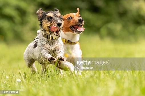 Two Dog Running Happily Over A Green Field Cute Jack Russell Terrier