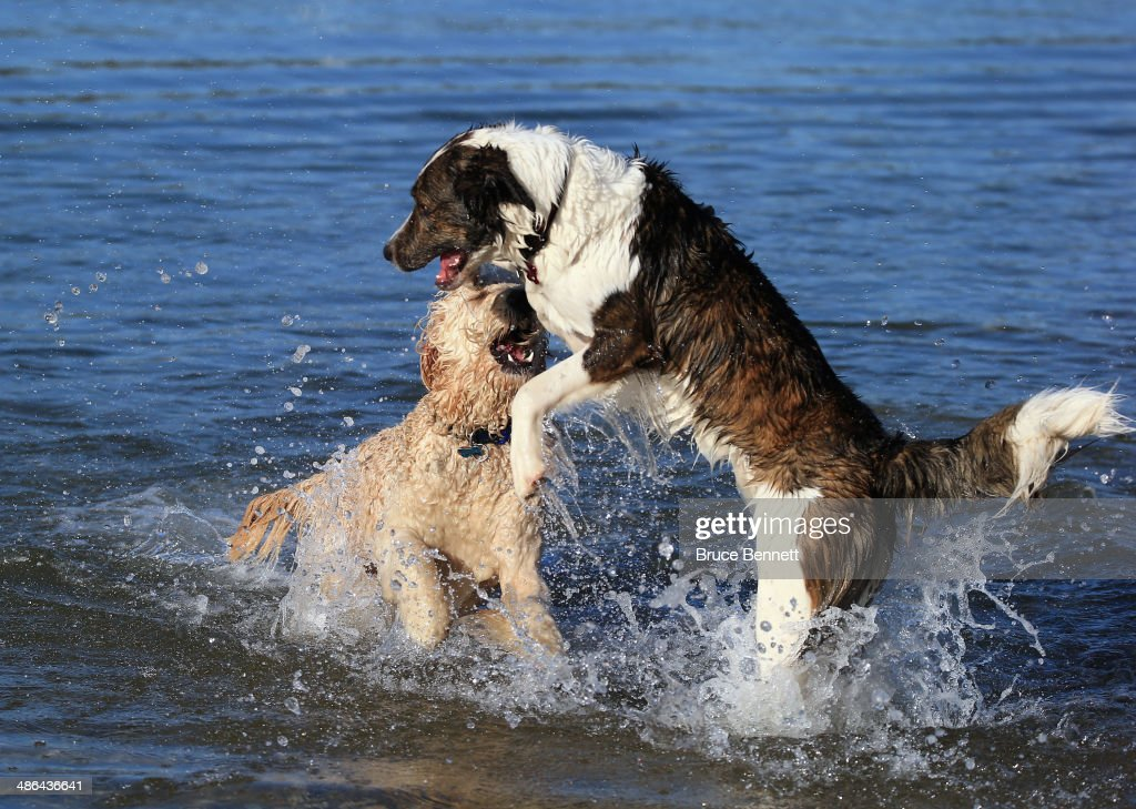 Two dogs, a Golden Doodle and a Border Collie mix play in the water on the north shore of Long Island at Coindre Hall on April 21, 2014 in Huntington, New York.