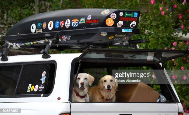 Two dogs a white labrador and a golden retriever wait for their owner to return to his pickup truck parked along a street in Telluride Colorado A...