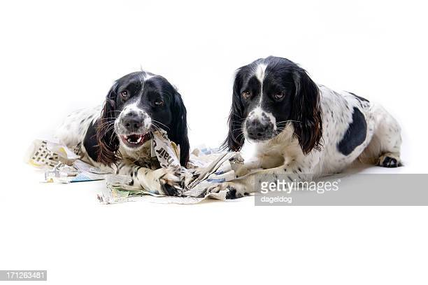 Two dogs caught chewing material