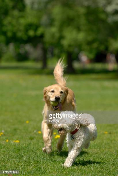 Two dogs chasing each other in the park