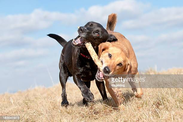 Two dogs fighting over a stick outdoors