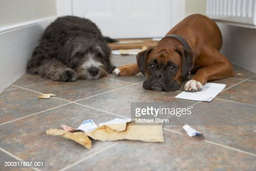 Two dogs in hallway, one with paw on letter : Stock Photo