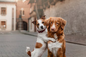 Nova Scotia Duck Tolling Retriever and Jack Russell Terrier in the city