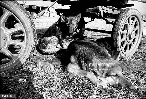 Two dogs lying under a gipsy caravan at a New Age travellers' encampment near Hereford 1987