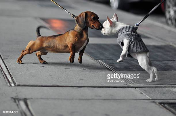 Two Dogs on Leashes Touching Noses