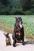 Two dogs on path by field