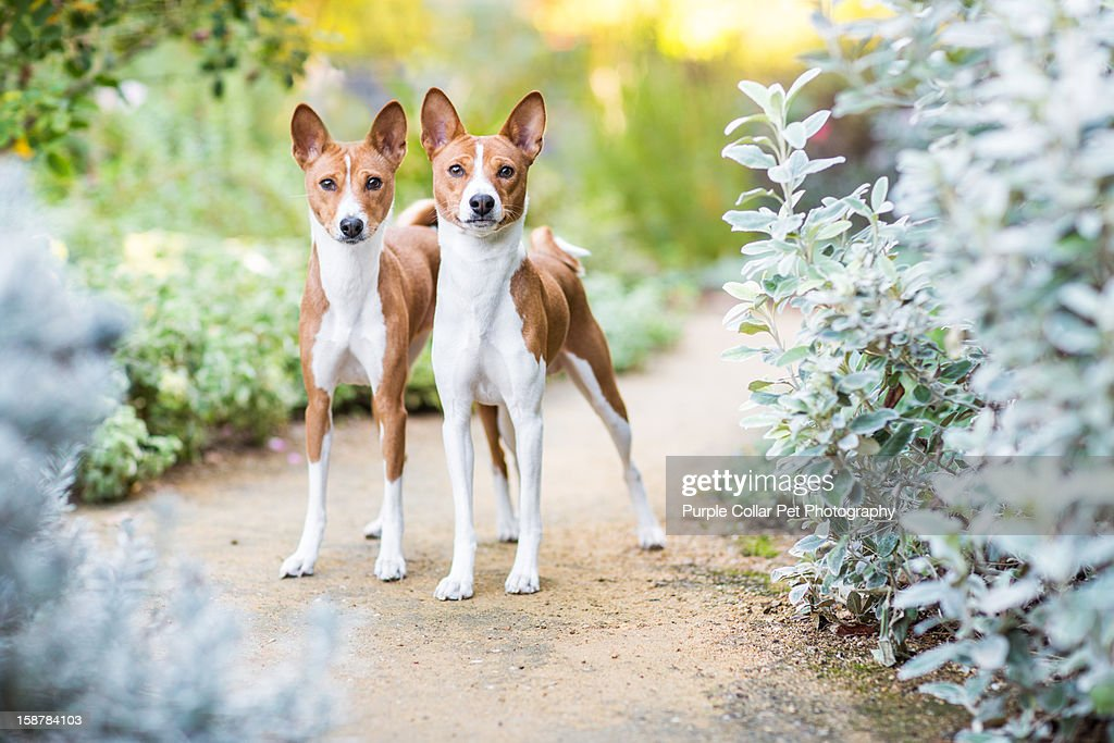 Two Dogs on Path