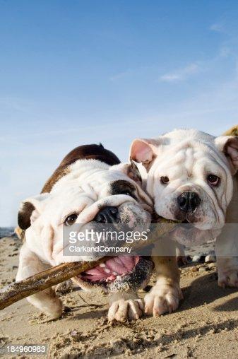 2 つの犬のスティック、ビーチで遊ぶ