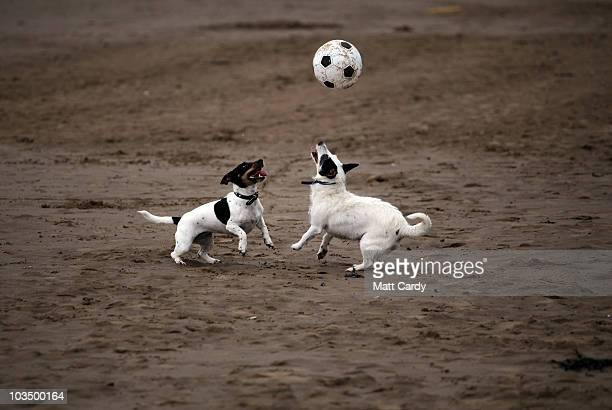 Two dogs play with a ball on the beach close to the rebuilt Weston Grand Pier on August 20 2010 in WestonsuperMare England The new 51million GBP...