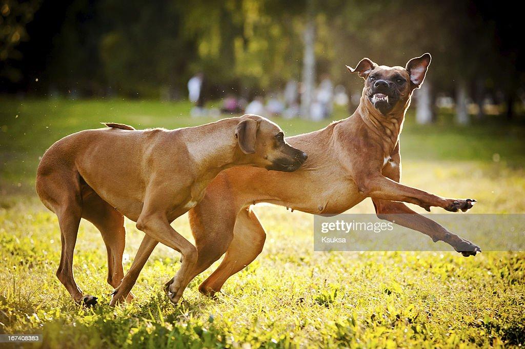 Zwei Hunde spielen ridgeback : Stock-Foto