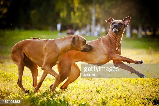 Deux chiens jouant ridgeback : Photo