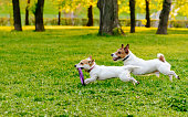 Pair of Jack Russell Terriers at evening spring park