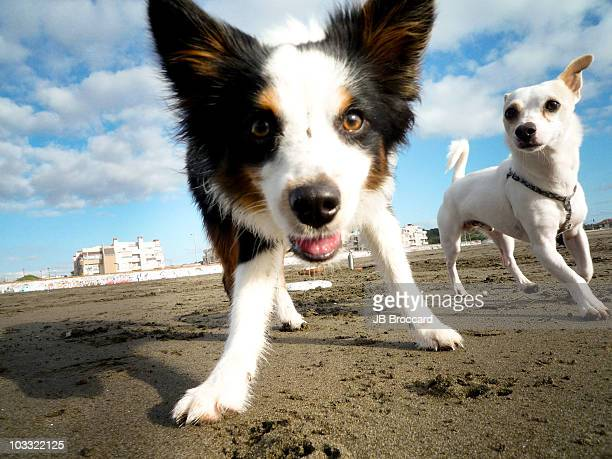 Two dog's running on beach
