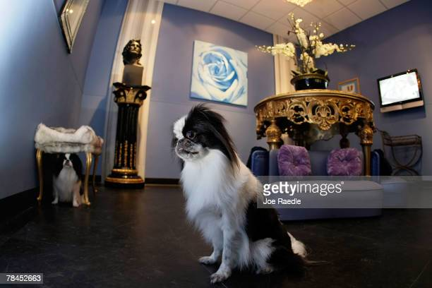 Two dogs sit in the teacup room at Chateau Poochie the luxury hotel for dogs and cats December 13 2007 in Pompano Beach Florida The room is a French...