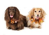 Two dogs wearing pumpkin collars
