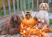 Two dogs with turkey pumpkin