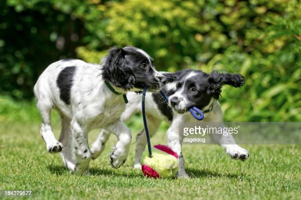 Two dogs working and playing together outside