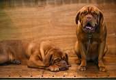 Two Dogue de Bordeaux rest in their stall on the second day of the Crufts dog show at the National Exhibition Centre in Birmingham central England on...