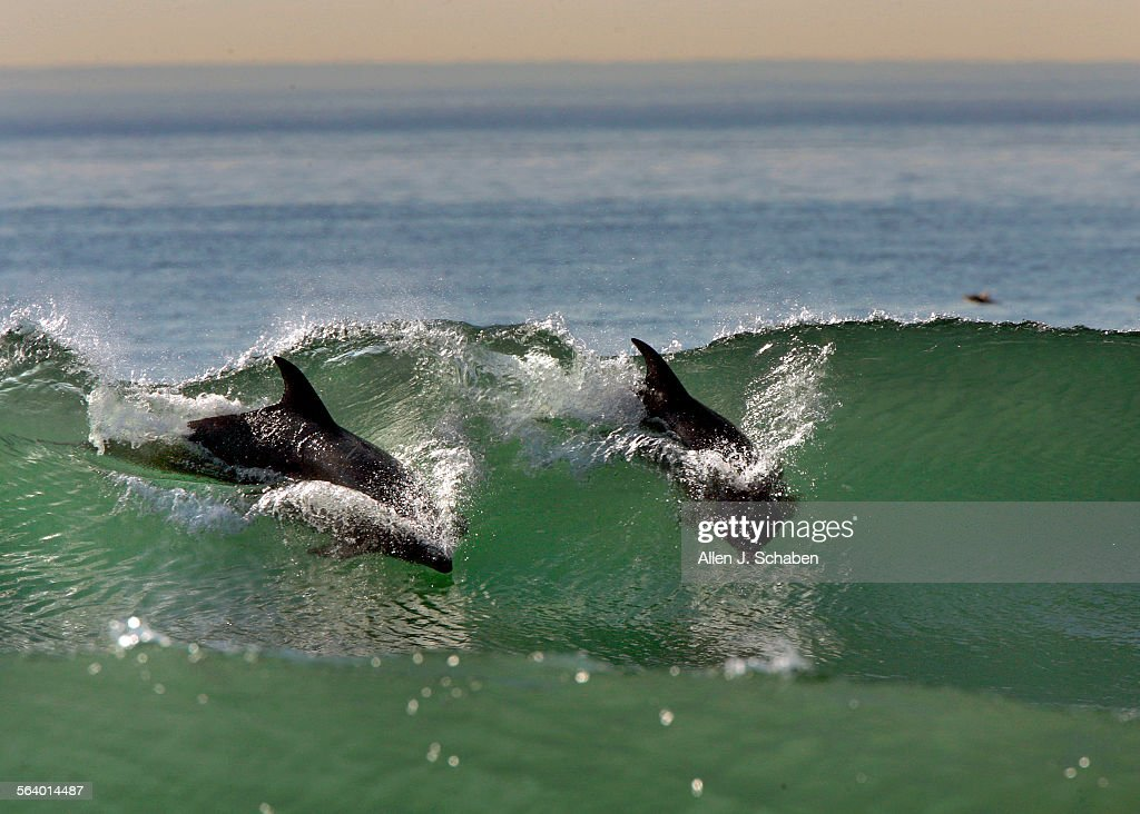 Two dolphins take advantage of Santa Ana wind–sculpted waves as they surf a breaker together at Marine Ave in Manhattan Beach Tuesday Jan 24 2006...