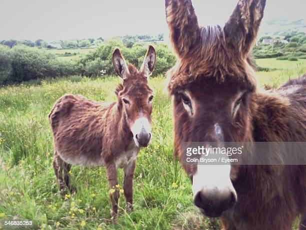 Two Donkeys In Pasture