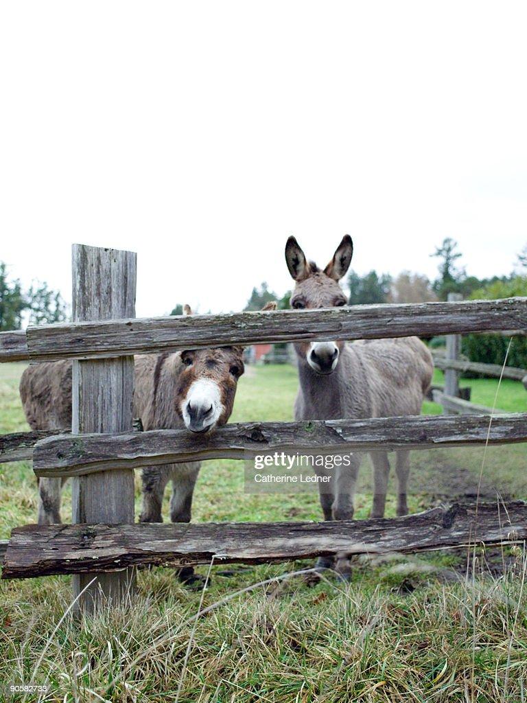 Two donkeys on Orcas Island : Stock Photo