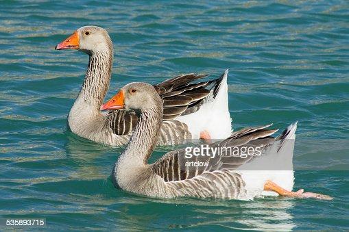 two ducks on the lake : Stockfoto