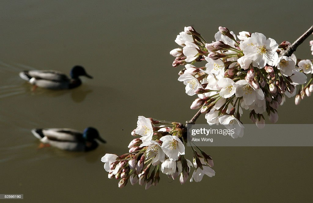 Two ducks swim by a bloom Cherry tree at the Tidal Basin April 6, 2005 in Washington, DC. The National Park Service predicted that the peak bloom will be from April 8th to 9th.