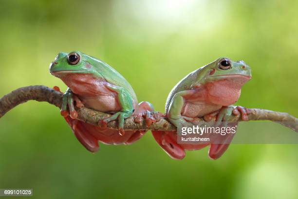 Two dumpy tree frogs on a branch, Indonesia